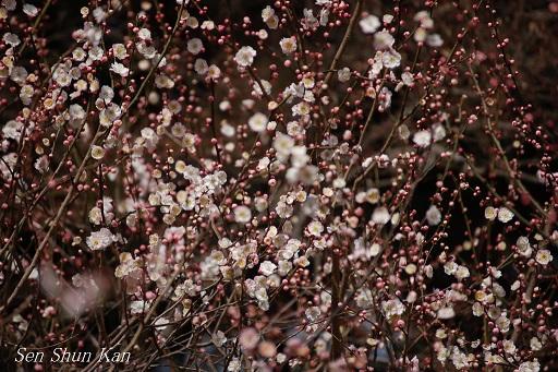 植物園の梅林_a0164068_22161948.jpg