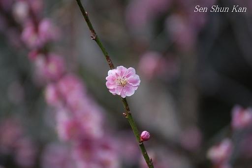 植物園の梅林_a0164068_22175774.jpg