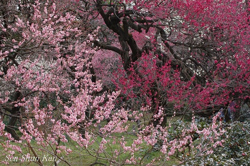 植物園の梅林_a0164068_22185131.jpg