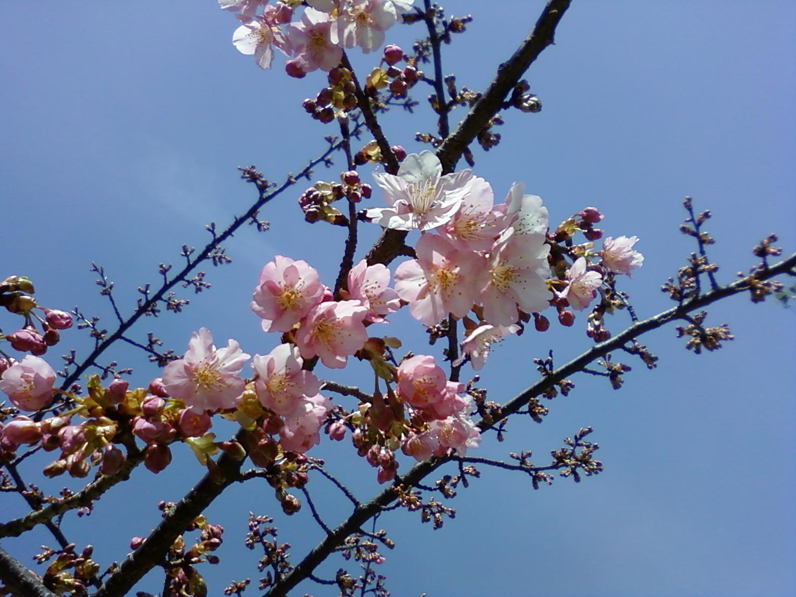 桜さく_b0224770_9225630.jpg