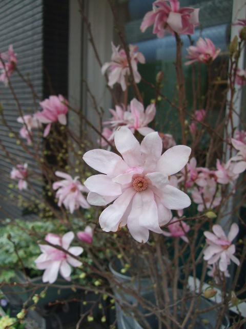 オークリーフ(シデコブシとバラの花束)_f0049672_13443038.jpg