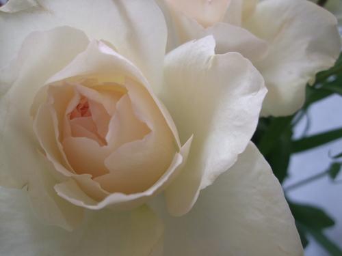 オークリーフ(シデコブシとバラの花束)_f0049672_143521.jpg