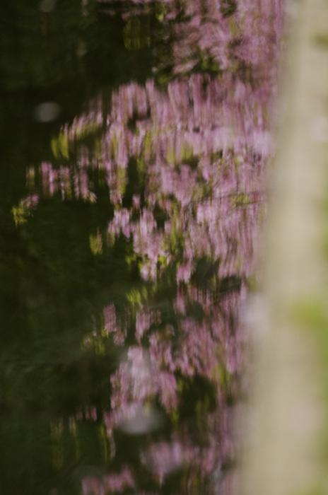 河津桜満開 3_b0151409_23115560.jpg
