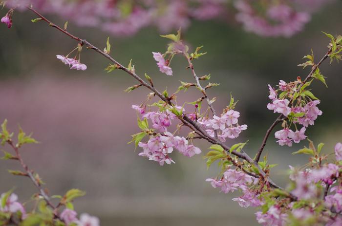 河津桜満開 3_b0151409_23183569.jpg