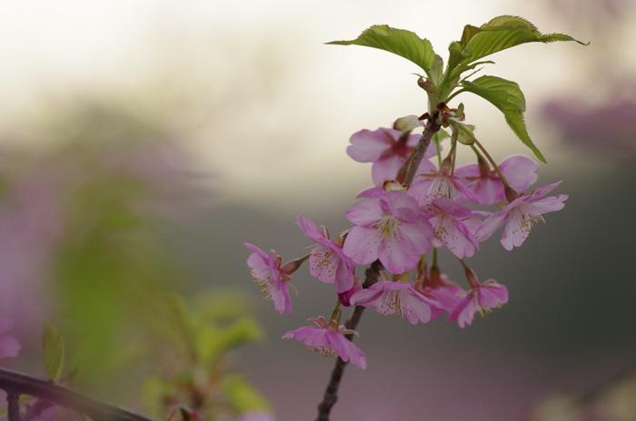 河津桜満開 3_b0151409_2319424.jpg