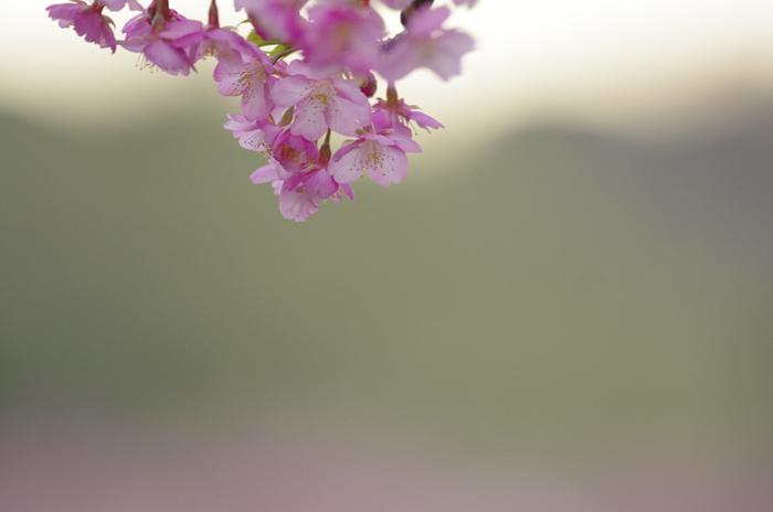 河津桜満開 3_b0151409_23194729.jpg