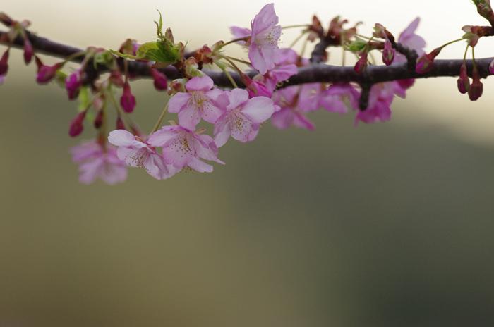 河津桜満開 3_b0151409_2320272.jpg