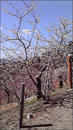 #397 「長瀞で梅を見る」_f0079218_15265036.jpg