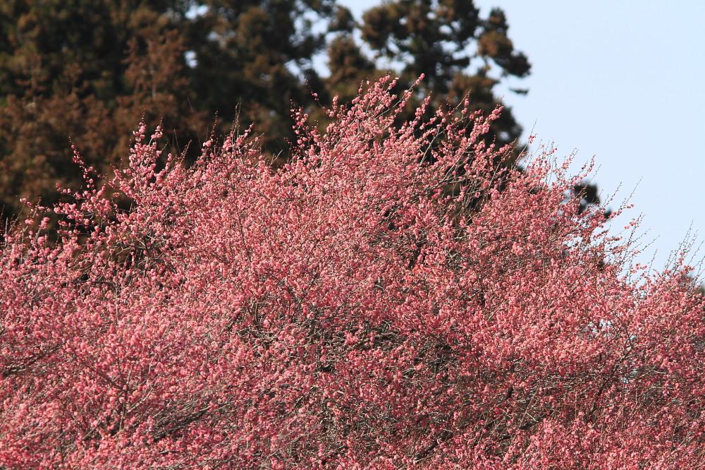 セツブンソウ  白い部分は萼片だった。 2012.3.19栃木市_a0146869_5532819.jpg