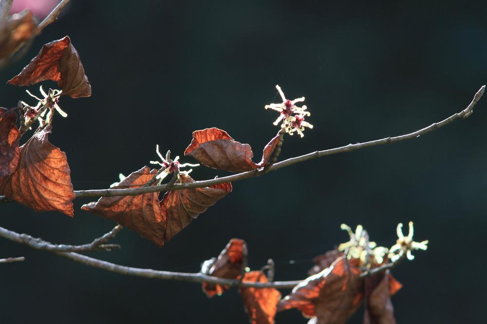 セツブンソウ  白い部分は萼片だった。 2012.3.19栃木市_a0146869_5571777.jpg