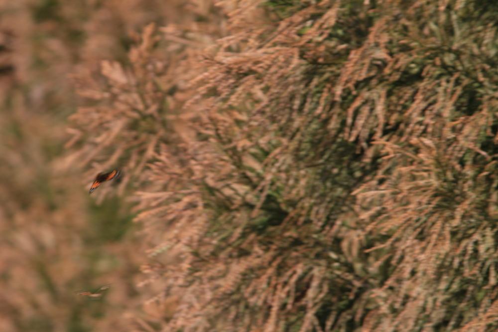 セツブンソウ  白い部分は萼片だった。 2012.3.19栃木市_a0146869_6111745.jpg