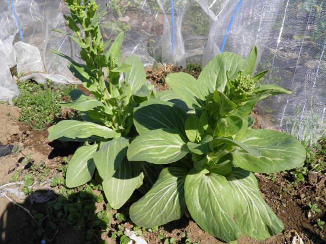 チンゲン菜の花で和風ペペロンチーノ_e0159969_18132562.jpg