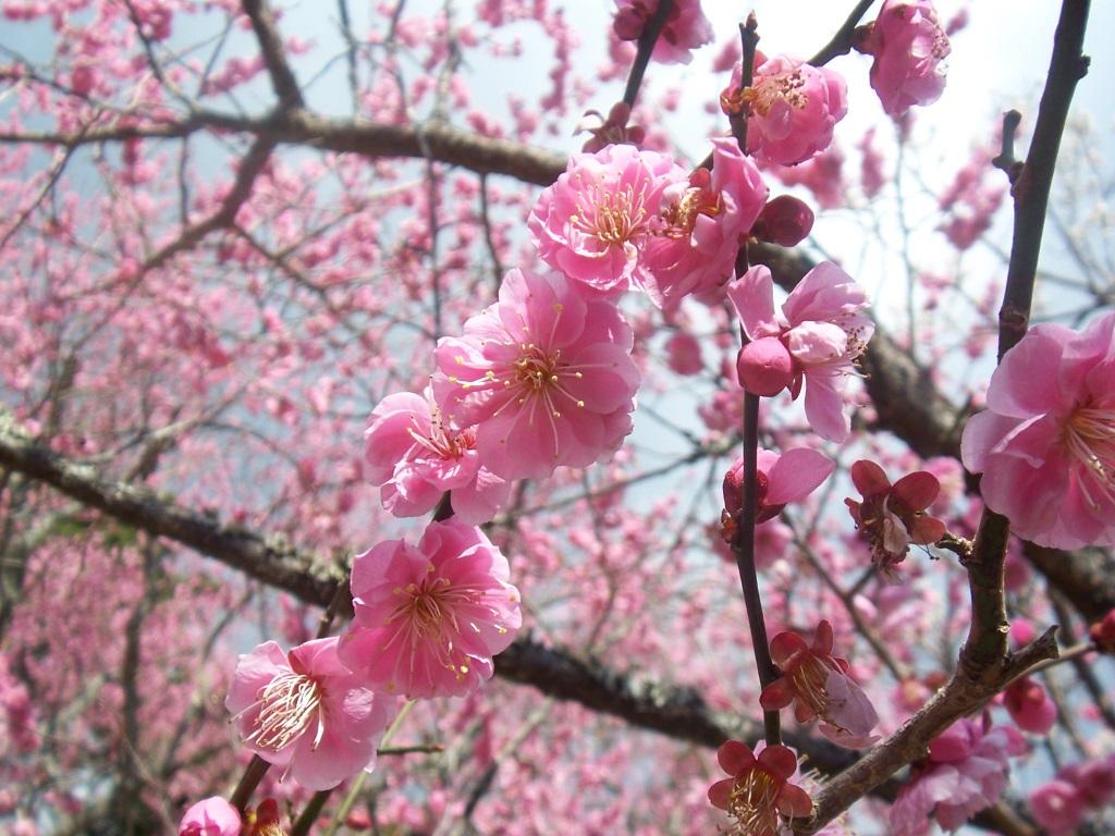 梅は咲いたか?桜はまだかいな、待っててね!_c0180686_2473223.jpg