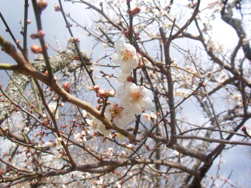 梅は咲いたか?桜はまだかいな、待っててね!_c0180686_2474333.jpg