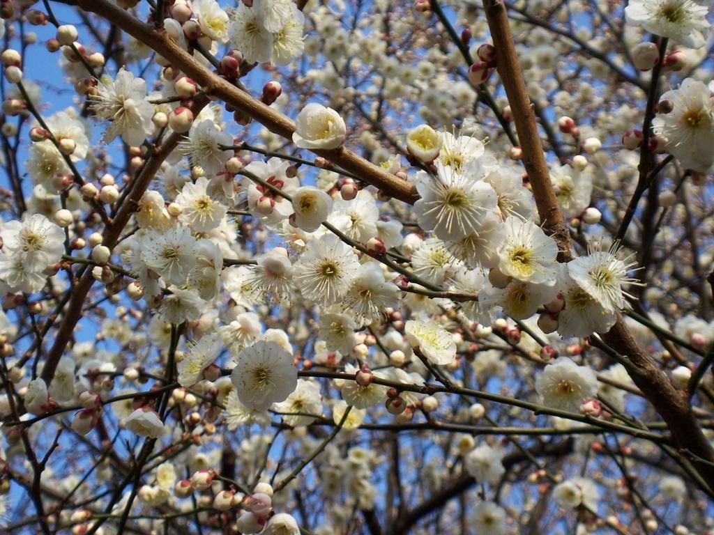 梅は咲いたか?桜はまだかいな、待っててね!_c0180686_2492486.jpg