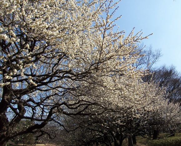 梅は咲いたか?桜はまだかいな、待っててね!_c0180686_250089.jpg