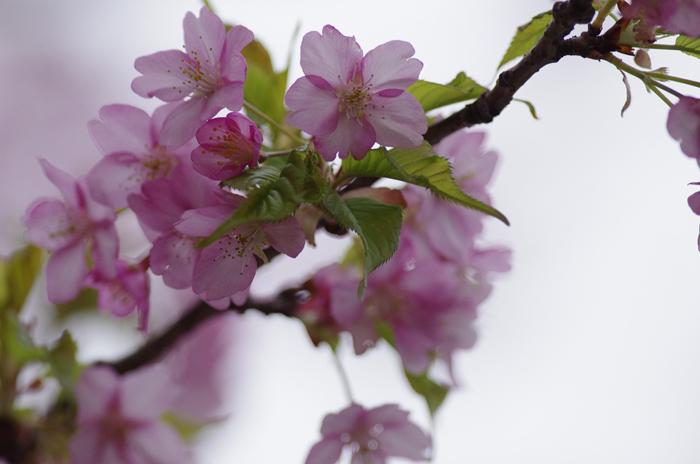 河津桜満開   4_b0151409_22243980.jpg