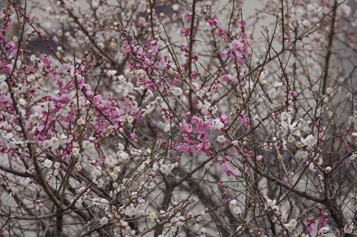 河津桜満開   4_b0151409_22251824.jpg