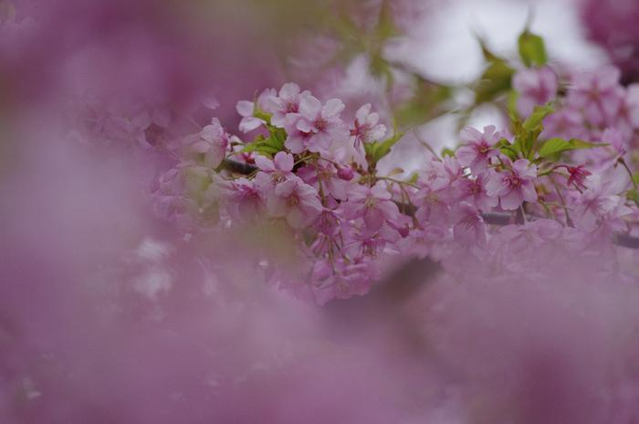河津桜満開   4_b0151409_22262272.jpg
