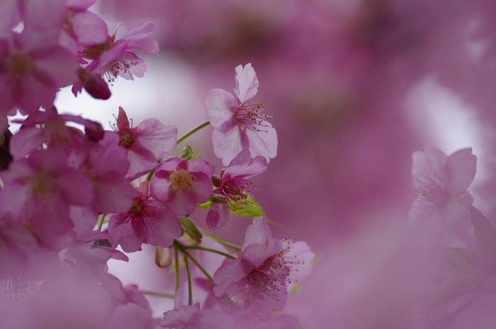 河津桜満開   4_b0151409_22264614.jpg