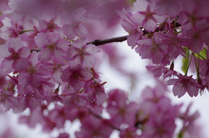 河津桜満開   4_b0151409_2227173.jpg