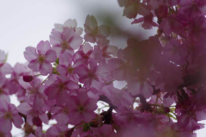 河津桜満開   4_b0151409_22274299.jpg