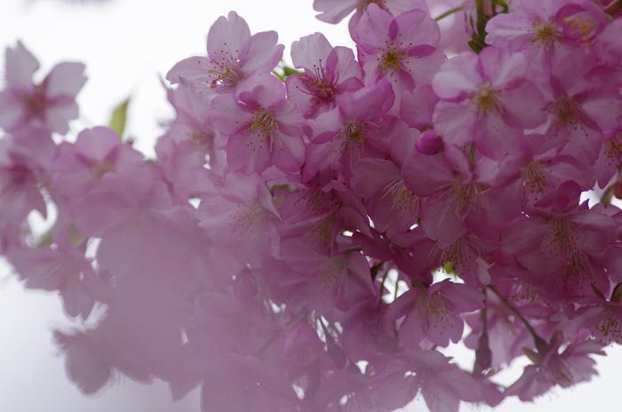河津桜満開   4_b0151409_22283381.jpg