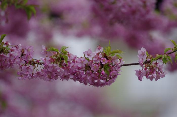 河津桜満開   4_b0151409_22361297.jpg