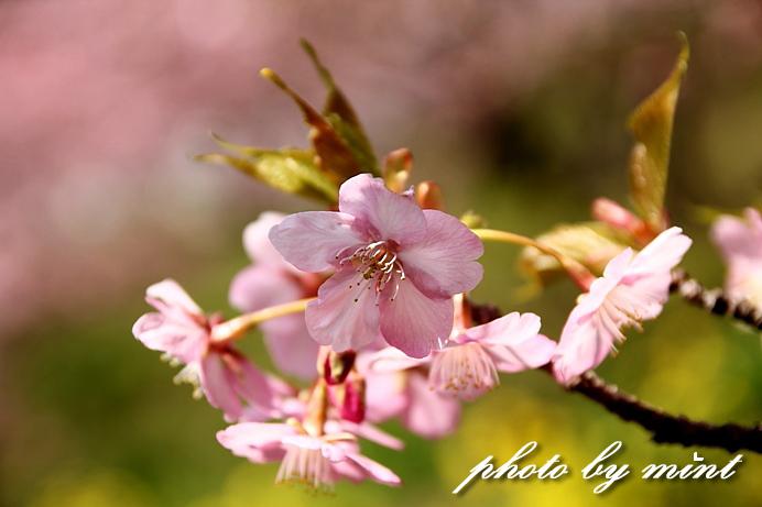 松田町の桜まつり 「河津桜」♪_e0218518_23523741.jpg