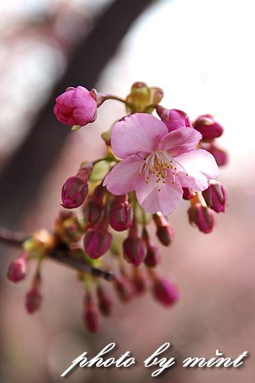 松田町の桜まつり 「河津桜」♪_e0218518_2353155.jpg