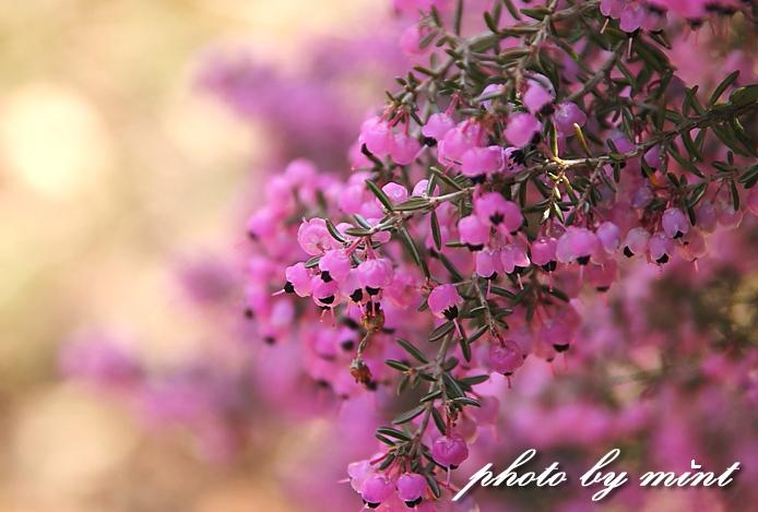 松田町の桜まつり 「河津桜」♪_e0218518_23535095.jpg