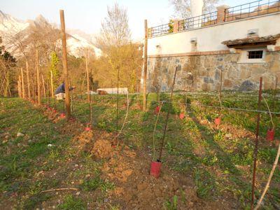 葡萄畑の紐張り_d0136540_3421740.jpg