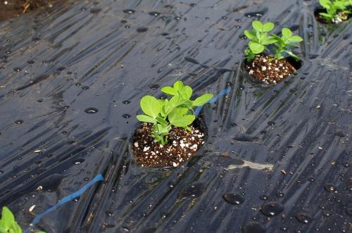 スナップエンドウを植える_c0110869_7453981.jpg