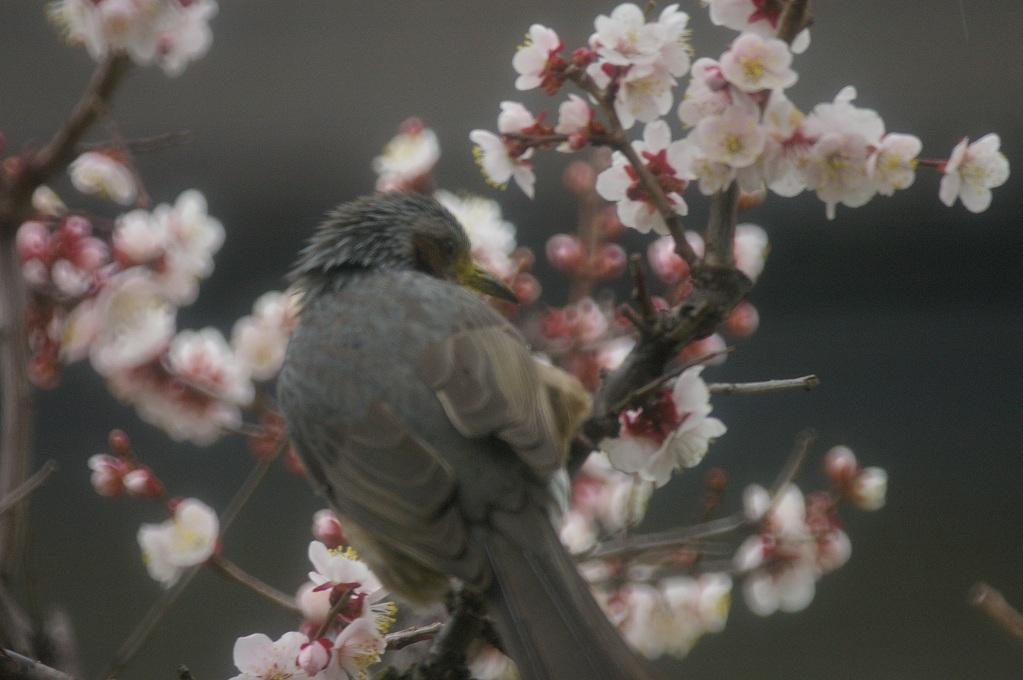梅の花_f0163491_2120599.jpg