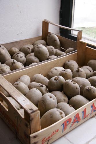 ジャガイモの芽が出ました♪_f0106597_16484882.jpg