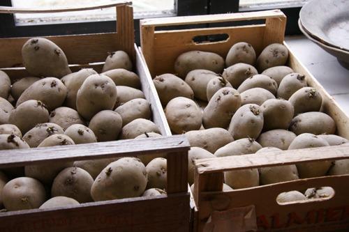 ジャガイモの芽が出ました♪_f0106597_16505449.jpg