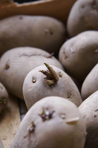 ジャガイモの芽が出ました♪_f0106597_16565092.jpg