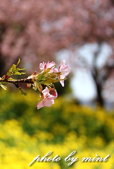 松田町の桜まつり 「河津桜」♪_e0218518_9104285.jpg