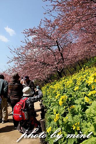 松田町の桜まつり 「河津桜」♪_e0218518_911413.jpg