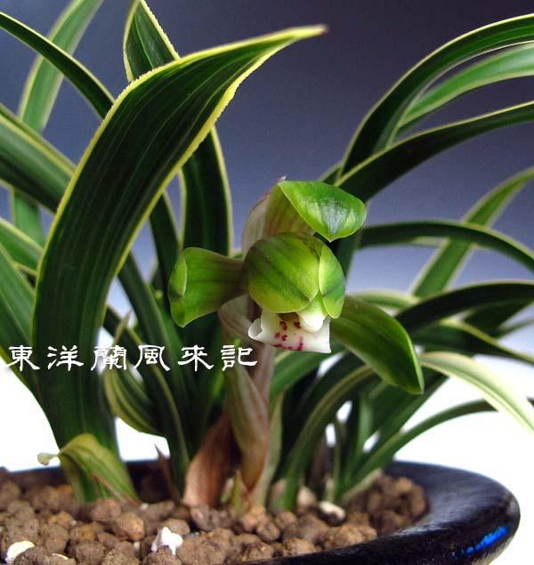 日本春蘭「稲妻」                   No.1142_d0103457_028420.jpg