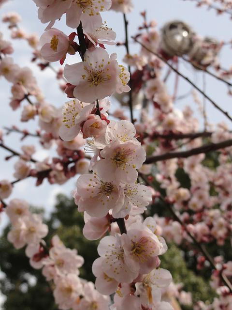 湯島天神 (3/22) そして今年の寒さについて_b0006870_9342732.jpg