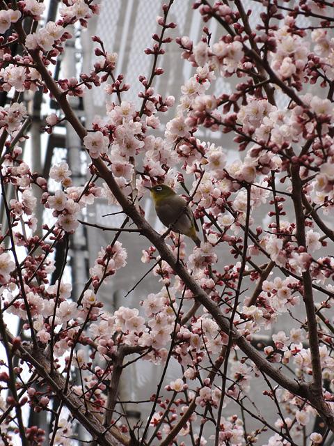 湯島天神 (3/22) そして今年の寒さについて_b0006870_9353866.jpg