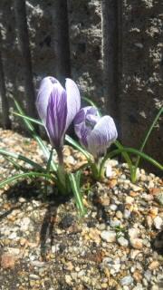 今年も咲いたよ♪_d0142770_2383513.jpg
