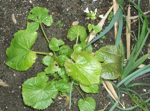 ワサビの花、タラの収穫、、つくしんぼう _f0018078_18504376.jpg