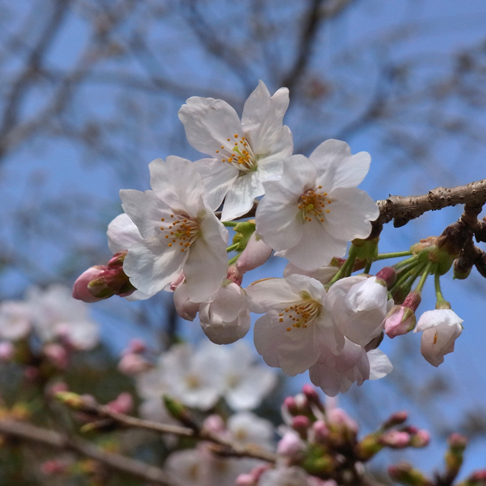速報 桜情報 by CX5 & GRD3_c0049299_1883842.jpg
