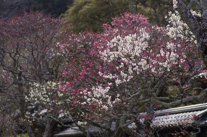 東慶寺の3月 1_b0151409_2305589.jpg