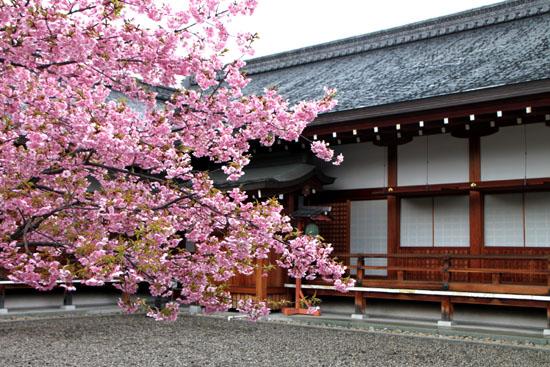 東寺 河津さくら_e0048413_20301034.jpg