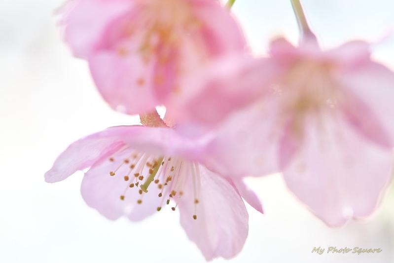 河津桜 その2_c0167028_21455788.jpg