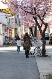 BOZZの散歩、名古屋の桜状況_e0034141_7442162.jpg