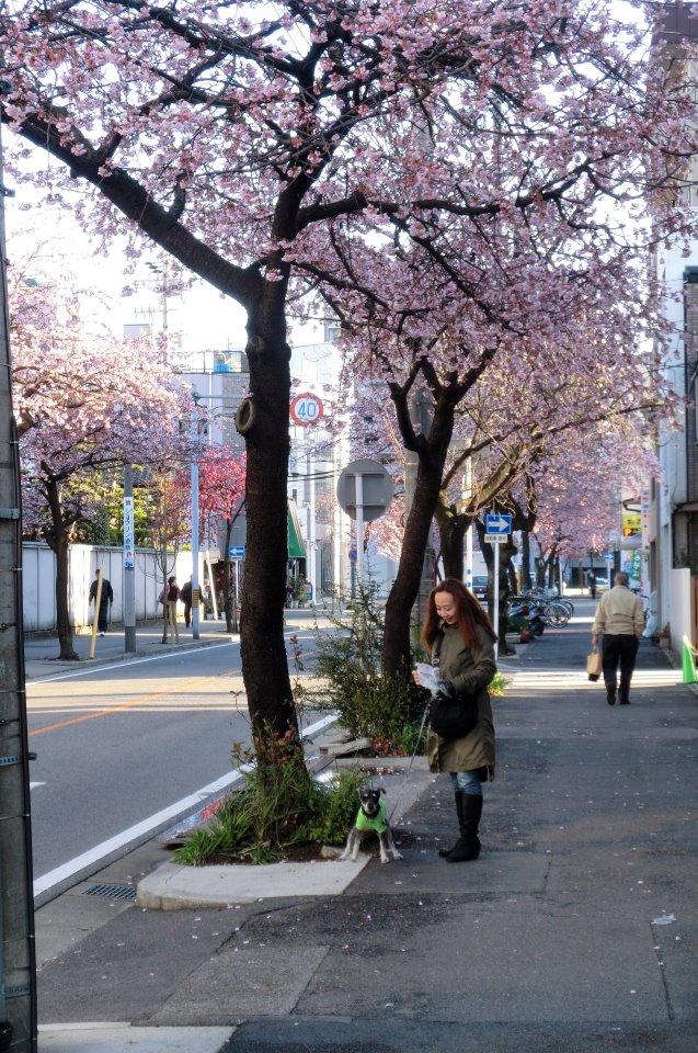 BOZZの散歩、名古屋の桜状況_e0034141_7444128.jpg